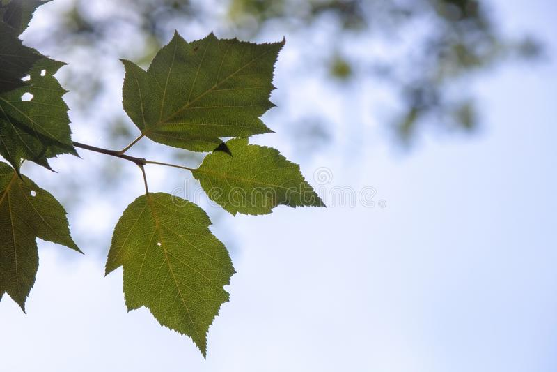 Folhas de árvore de pássaros prateados fecham foto de stock