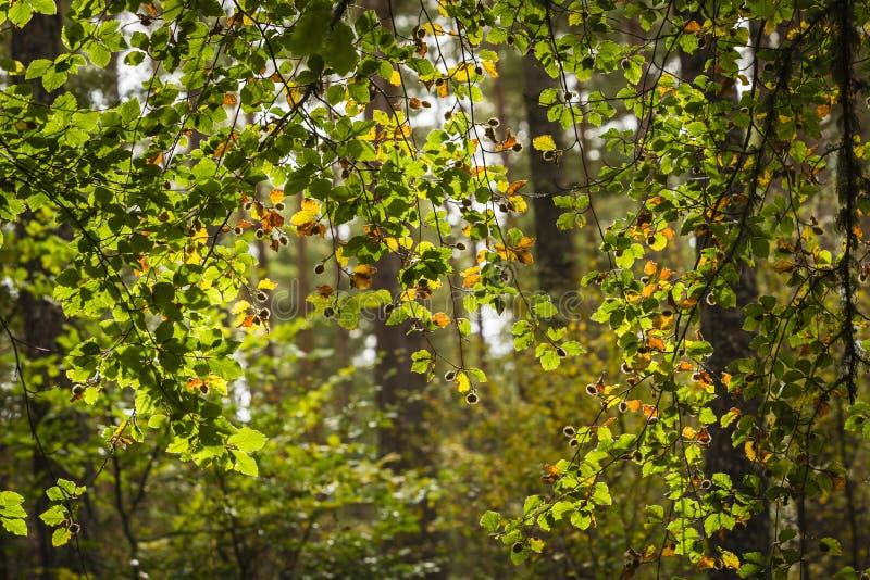 Folhas de Autumn Beech na floresta de Torbreck em Escócia imagem de stock