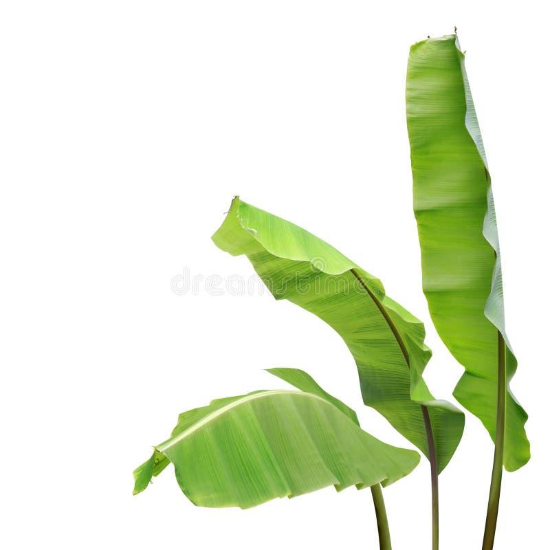 Folhas de Banana Verde Fresca Isoladas em Fundo Branco imagens de stock