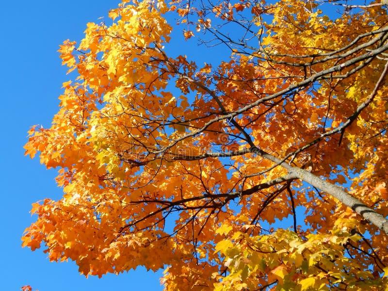 Folhas de bordo amarelas do outono foto de stock royalty free
