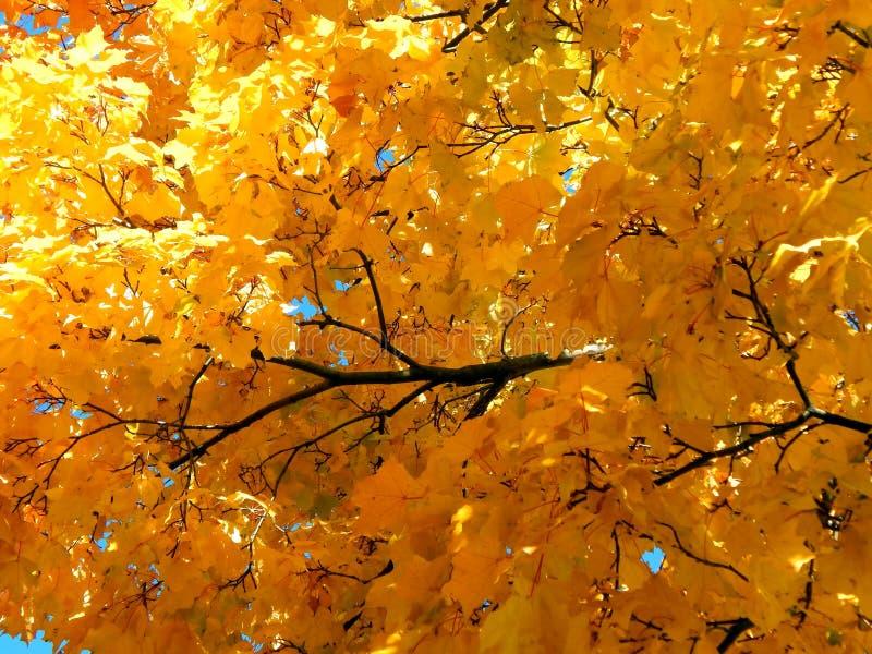 Folhas de bordo amarelas do outono imagens de stock royalty free