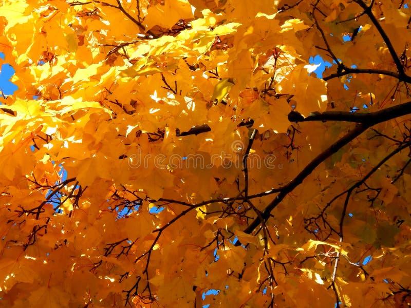 Folhas de bordo amarelas do outono fotos de stock royalty free
