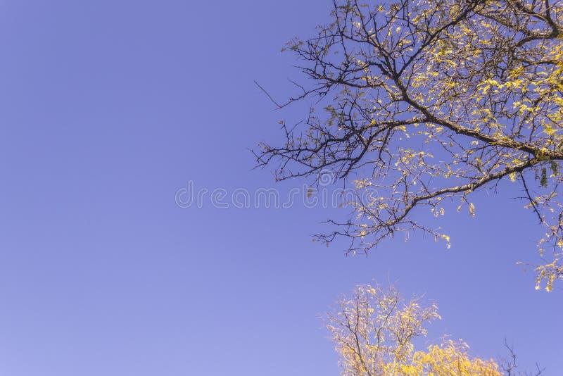 Folhas de bordo amarelas durante o outono contra o céu azul ensolarado fotografia de stock