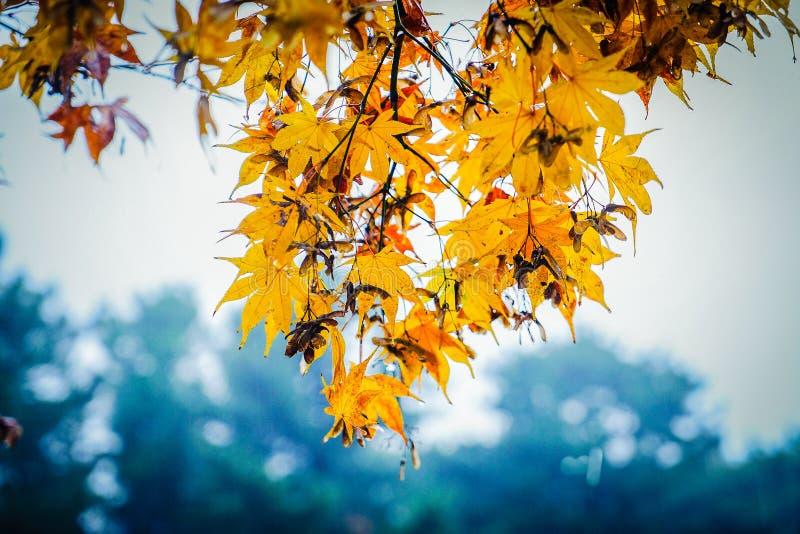 Folhas de bordo amarelas na chuva no parque nacional de Hallaan, Jeju mim foto de stock royalty free