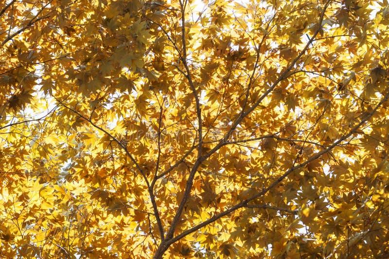 Folhas de bordo amarelas vermelhas da queda iluminadas pelo fundo natural do sol foto de stock