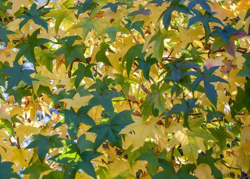 Folhas de bordo amarelo e verde imagens de stock royalty free