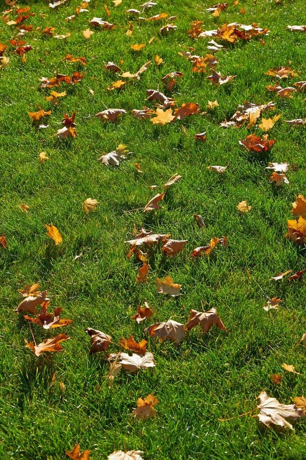 Folhas de bordo brilhantes na grama verde fotos de stock royalty free