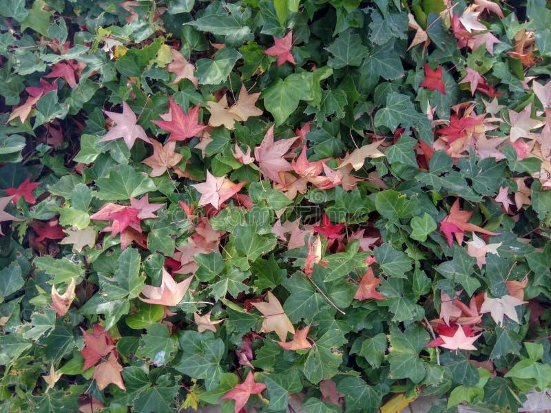Folhas de bordo coloridas da queda em um fundo da grama verde Vista superior imagem de stock royalty free