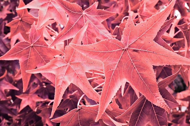 Folhas de bordo colorized imagem de stock royalty free