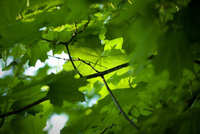 Folhas de bordo da luz do sol na floresta do verão fotografia de stock royalty free