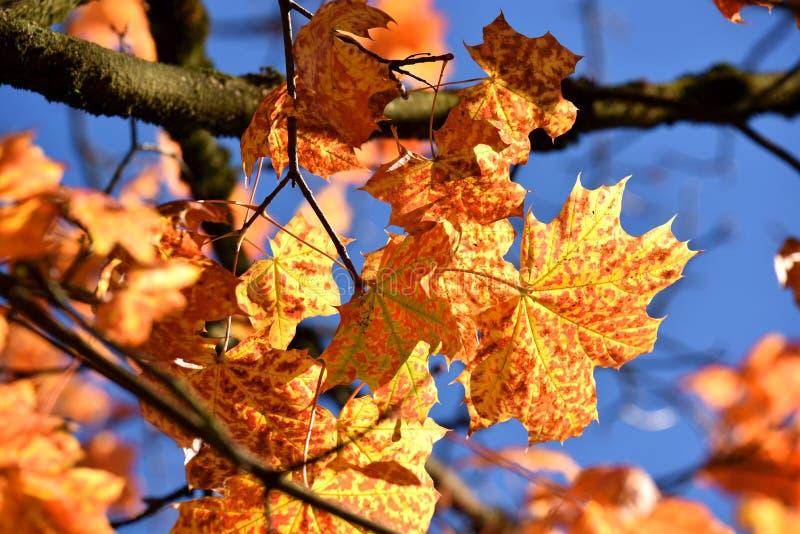 Folhas de bordo da queda fotografia de stock
