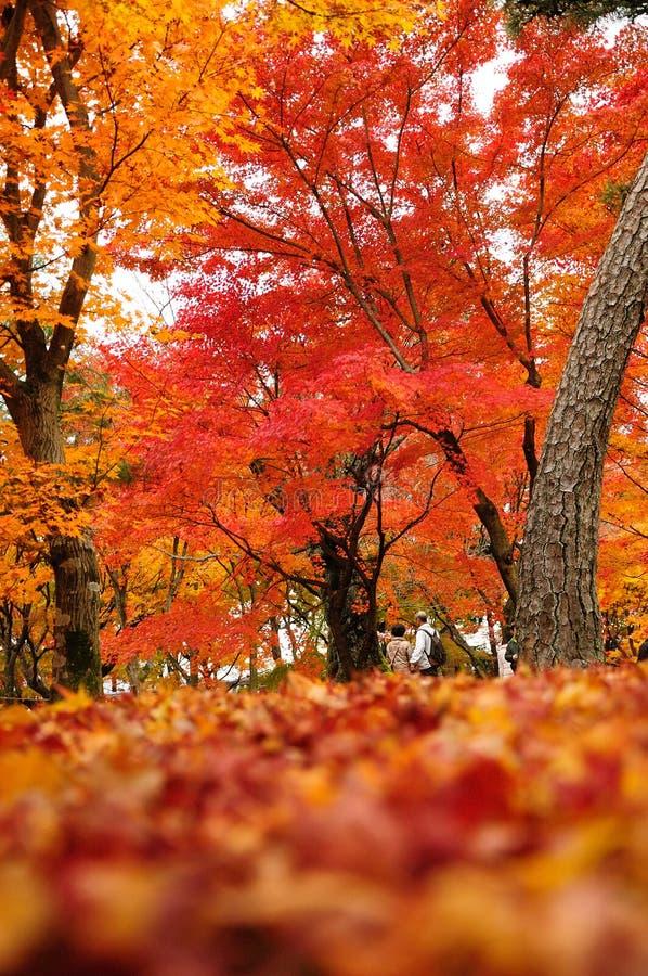 Folhas de bordo do outono em Japão imagem de stock