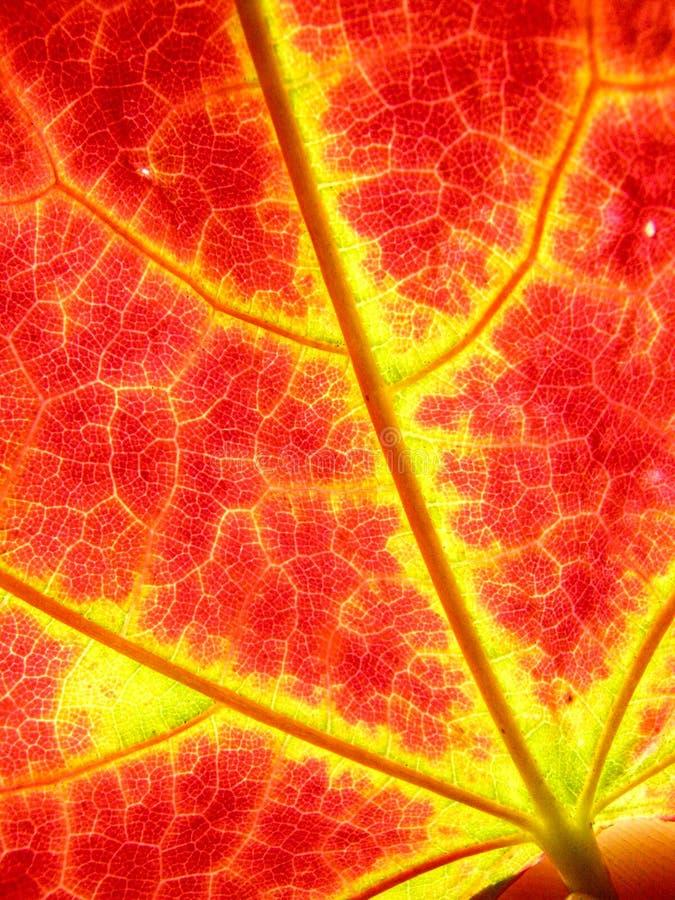 Folhas de bordo do outono do fundo imagens de stock
