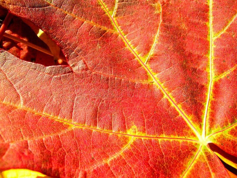 Folhas de bordo do outono do fundo foto de stock