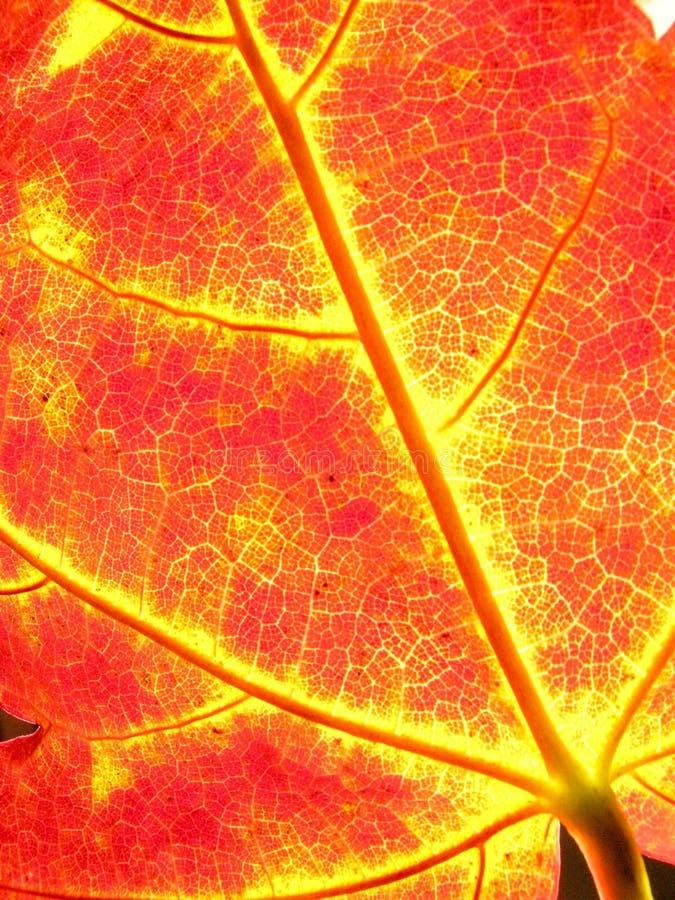 Folhas de bordo do outono do fundo fotografia de stock
