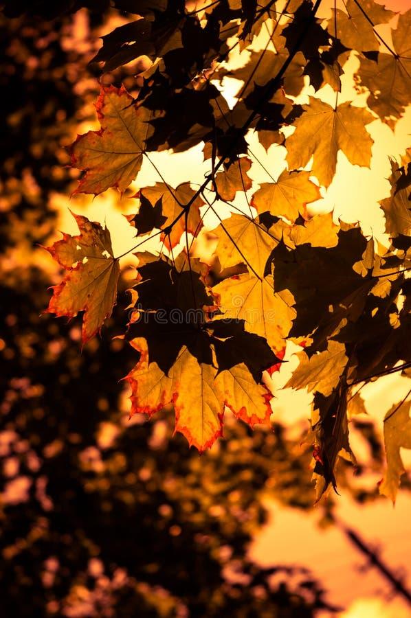 Folhas de bordo do outono leves pela luz solar Fundo colorido do outono Foco macio, foco selecionado imagens de stock royalty free