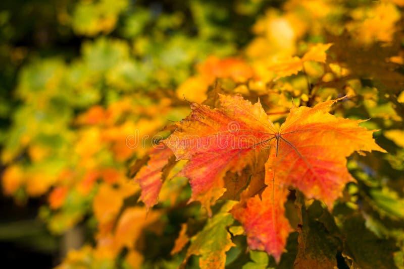 Folhas de bordo em cores do outono foto de stock
