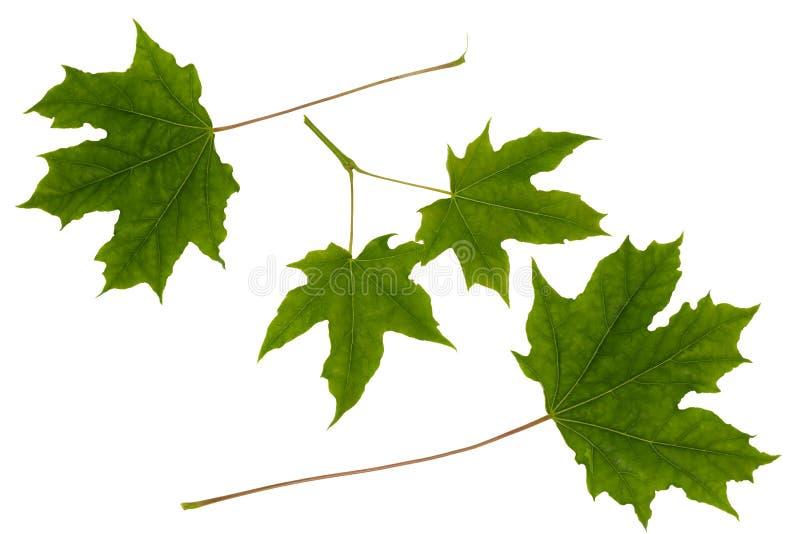 Folhas de bordo isoladas imagens de stock