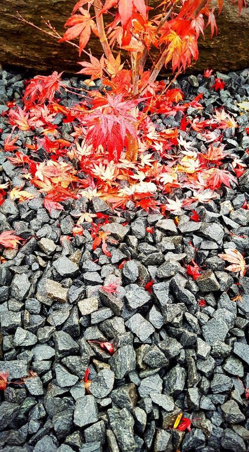 Folhas de bordo japonesas em rochas fotografia de stock royalty free