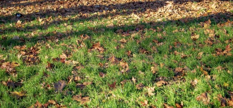 Folhas de bordo na grama verde dentro do Hyde Park imagens de stock