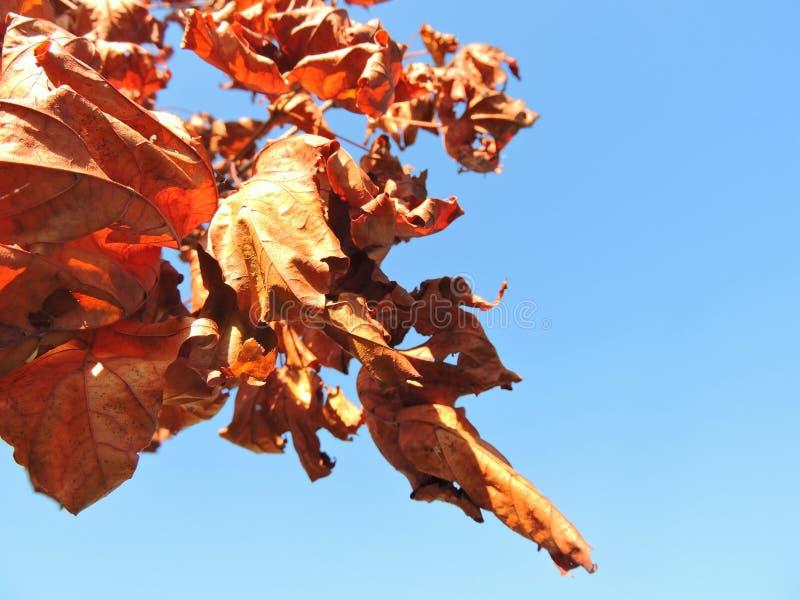 Folhas de bordo no céu azul imagens de stock