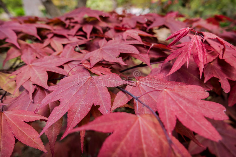 Folhas de bordo no complexo Sanzen-no templo imagens de stock