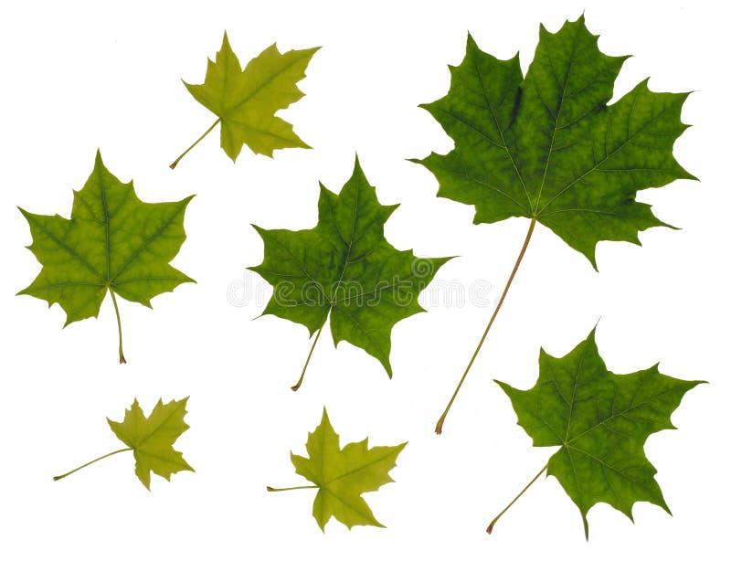 Folhas de bordo no fundo branco foto de stock