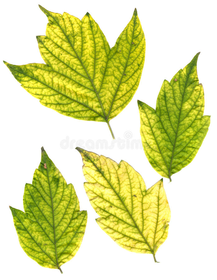 Folhas de bordo pressionadas verdes e amarelas fotos de stock