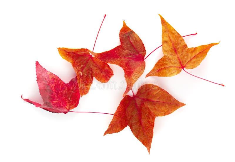 Folhas de bordo secadas isoladas sobre o fundo branco fotografia de stock