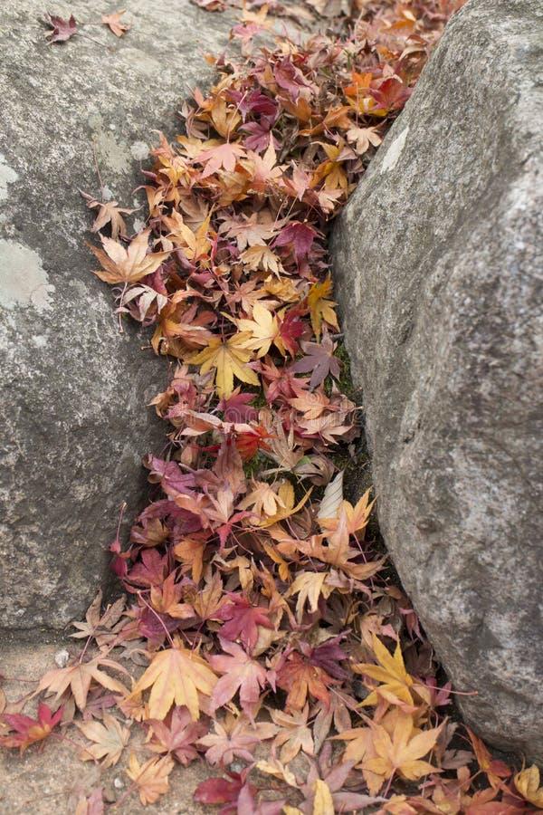 Folhas de bordo secas entre as rochas imagem de stock