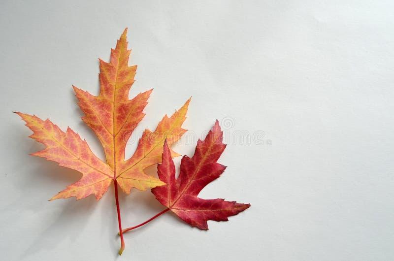 Folhas de bordo vívidas isoladas no fundo branco Folhas de bordo brilhantes do outono Dois isolaram as folhas da laranja e do ver imagens de stock
