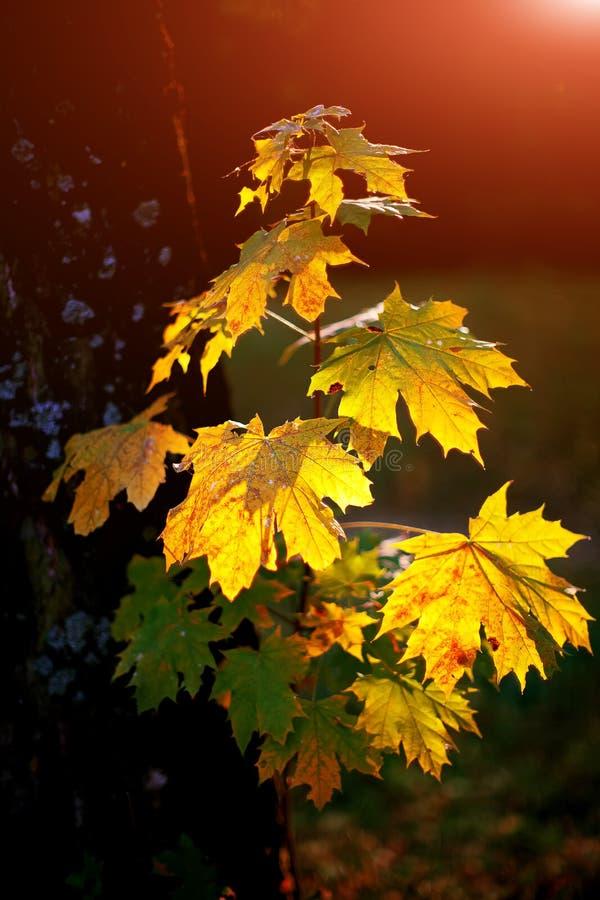 Folhas de bordo verdes e amarelas com o sol que shinning completamente fotos de stock royalty free