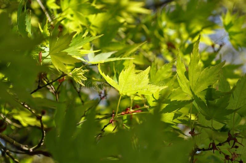 Folhas de bordo verdes em Japão imagem de stock