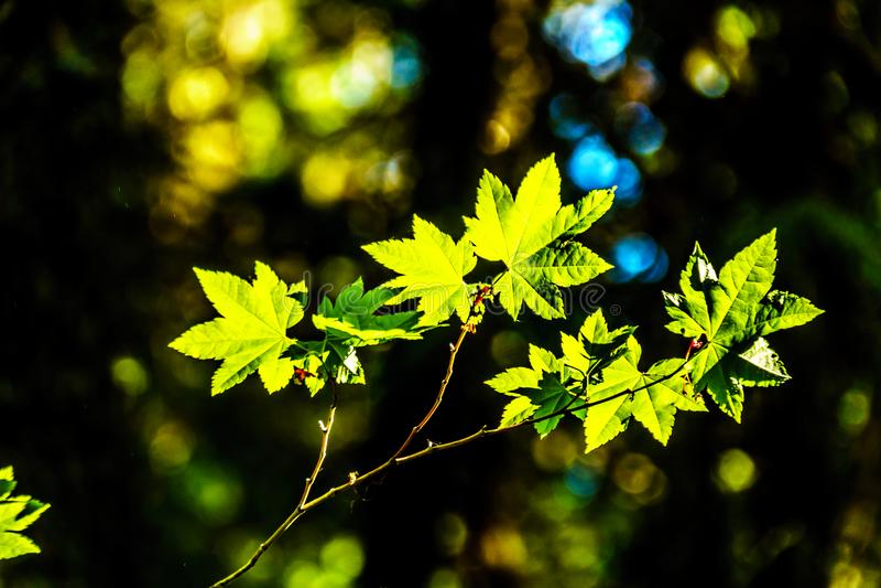 Folhas de bordo verdes frescas em uma floresta no Columbia Britânica, Canadá fotografia de stock royalty free