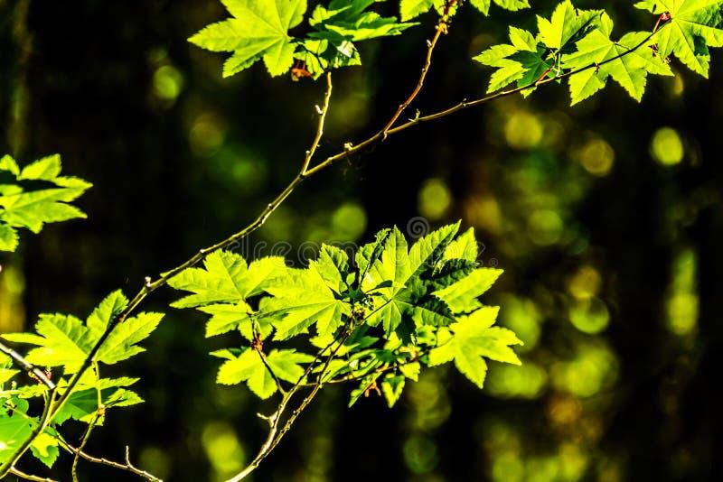 Folhas de bordo verdes frescas em uma floresta no Columbia Britânica, Canadá fotos de stock royalty free