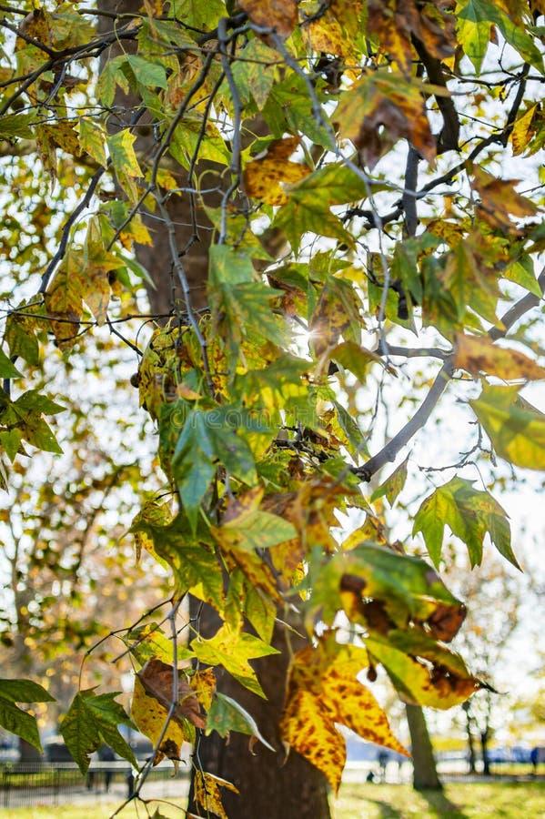 Folhas de bordo verdes na ?rvore dentro do Hyde Park fotos de stock