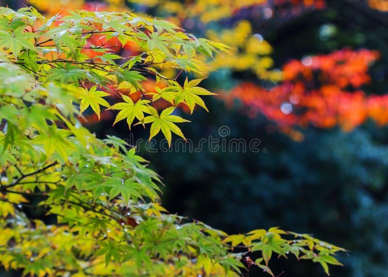 Folhas de bordo verdes no outono imagem de stock