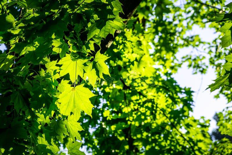 Folhas de bordo verdes vívidas fotografia de stock royalty free