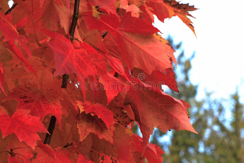 Folhas de bordo vermelhas foto de stock