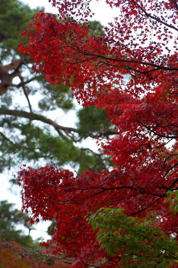 Folhas de bordo vermelhas bonitas Momiji durante o outono japonês fotografia de stock royalty free