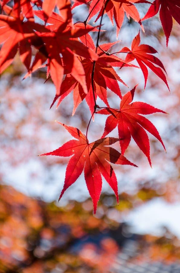 Folhas de bordo vermelhas no dia ensolarado fotos de stock