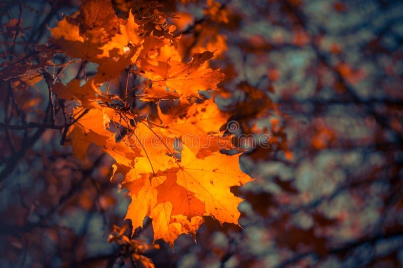 Folhas de bordo vermelhas no fundo borrado Fundo do outono Foco macio, defocused imagens de stock royalty free