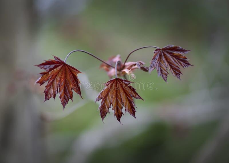 Folhas de bordo vermelhas de Noruega que emergem imagem de stock royalty free