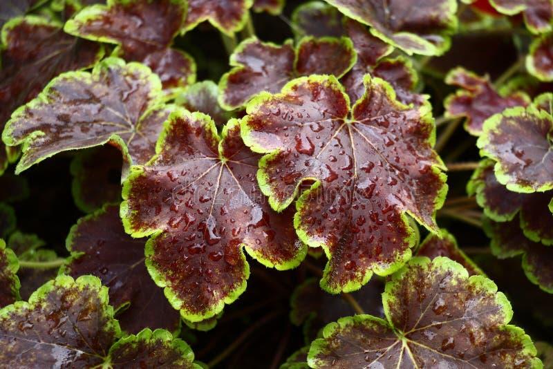 Folhas de Brown de um heuchera foto de stock