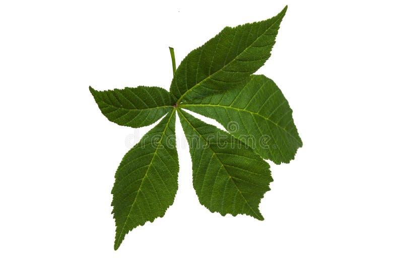 Folhas de castanho verde sobre fundo branco imagens de stock royalty free