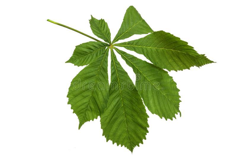 Folhas de castanho verde sobre fundo branco imagens de stock