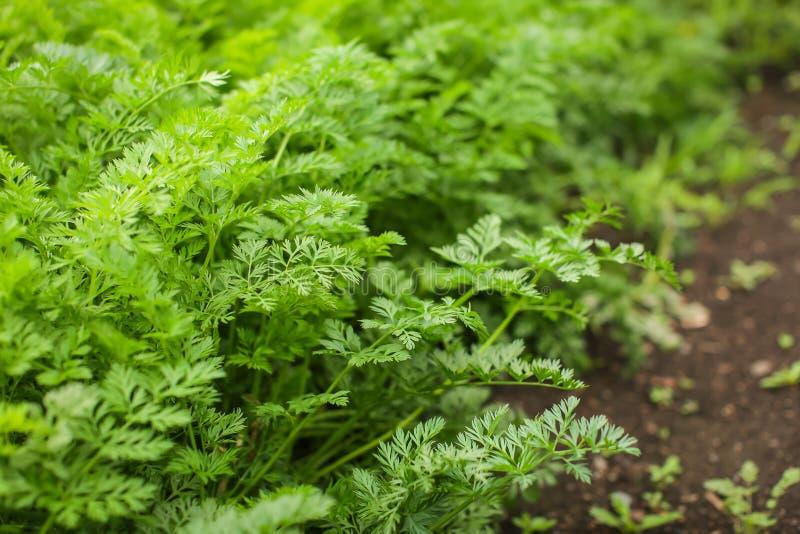 Folhas de cenoura do topo na cama no jardim no dia de verão em foco seletivo conceito de eco-legumes caseiro fotografia de stock