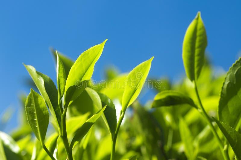 Folhas de chá fotografia de stock