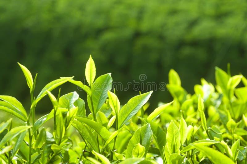 Folhas de chá fotografia de stock royalty free