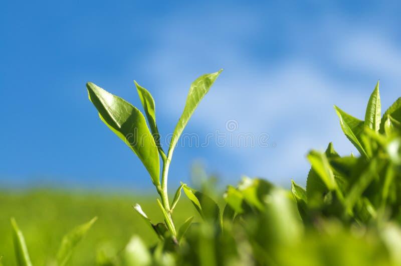 Folhas de chá imagem de stock royalty free